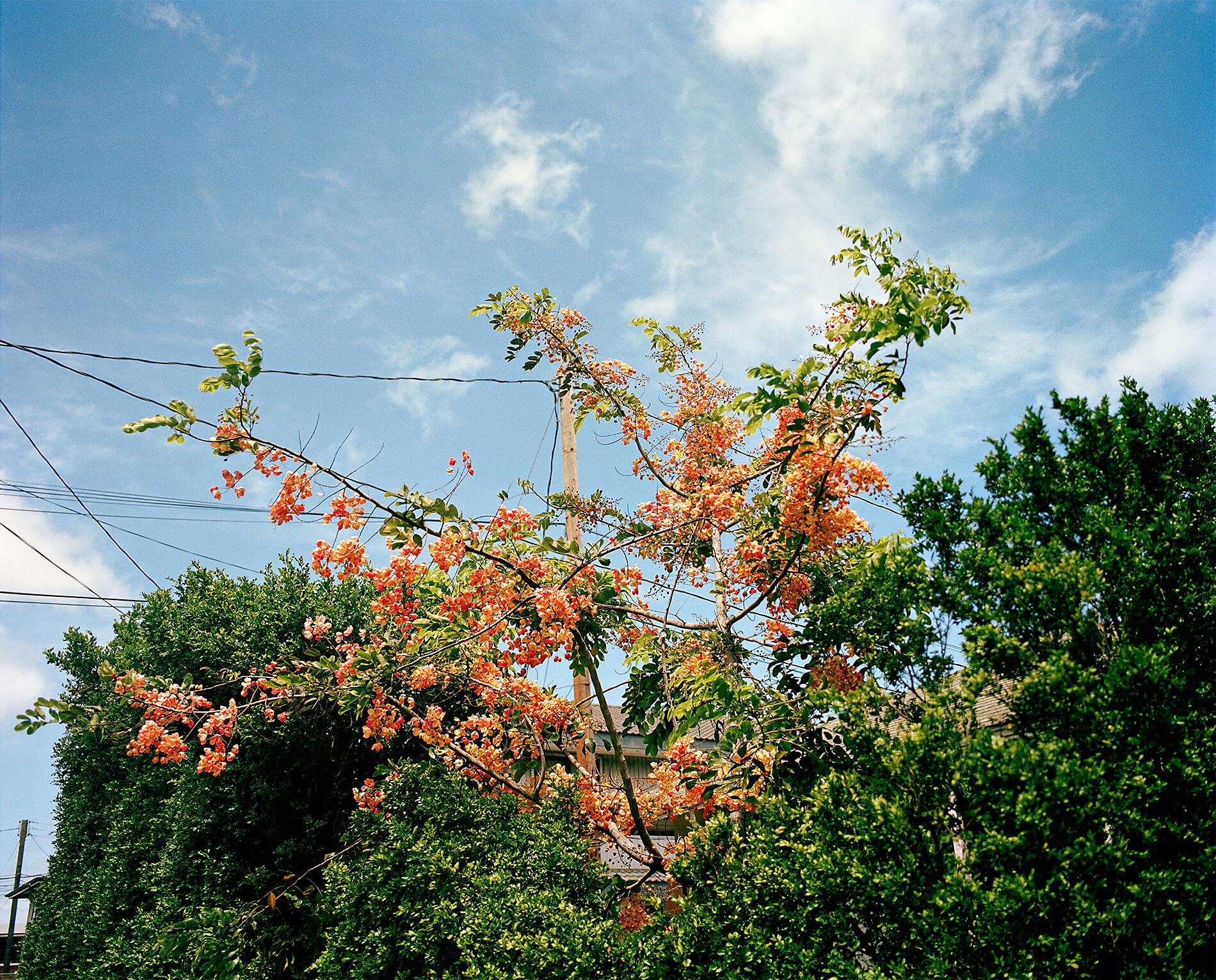 Blooming tree in Honolulu, Hawaii
