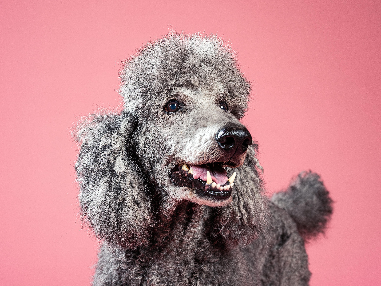 Best in show service dog Titan