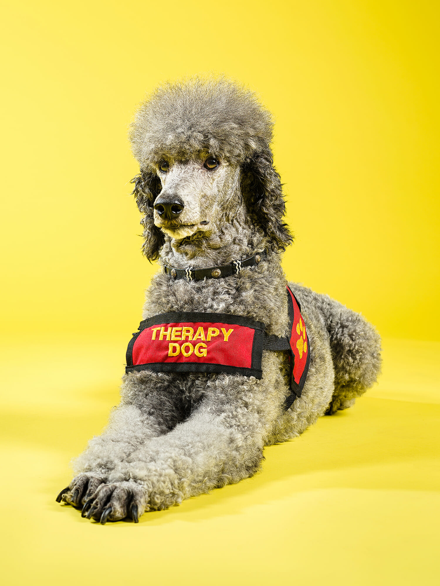 Poodle therapy dog Jodie