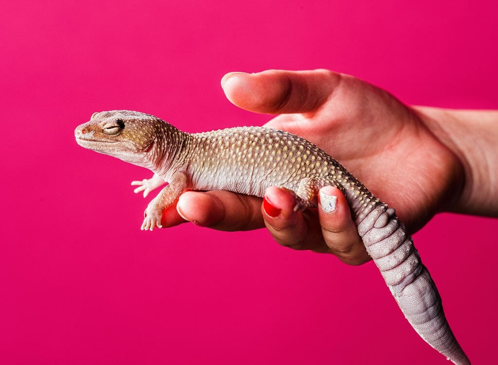 A gecko resting on hand.